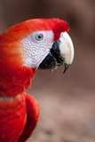 Scarlet Macaw Profile Photographic Print by Howard Ruby