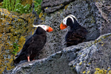 Puffin Duo Photographic Print by Howard Ruby