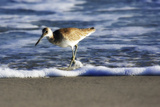 Sandpiper in the Surf III Photographic Print by Alan Hausenflock