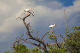 White Stork, Yucatan, Mexico Papier Photo par Howard Ruby