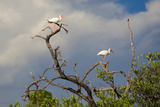 White Stork, Yucatan, Mexico Photographic Print by Howard Ruby