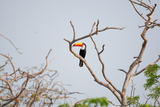 Tucan on a Branch Photographic Print by Howard Ruby
