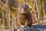 Dwarf Mongoose Photographic Print by Howard Ruby