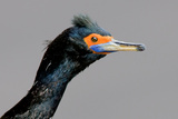 Portrait of a Cormorant Photographic Print by Howard Ruby