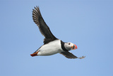 Flying Puffin Photographic Print by Howard Ruby