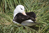 Albatross Nest Photographic Print by Howard Ruby