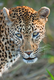 Leopard Gaze Photographic Print by Howard Ruby