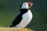 Puffin to the Sun Photographic Print by Howard Ruby