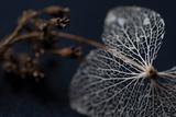 Hydrangea Skeleton II Photographic Print by Erin Berzel