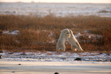 Polar Bear Dual II Photographic Print by Howard Ruby