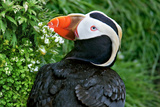 Pacific Puffin Photographic Print by Howard Ruby