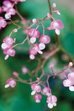 Delicate Begonia I Fotografisk tryk af Erin Berzel