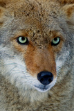 Fox Face Photographic Print by Howard Ruby