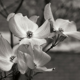 Dogwood Blossoms I BW Sq Photographic Print by Erin Berzel