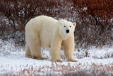 Polar Bear in the Brush Reproduction photographique par Howard Ruby