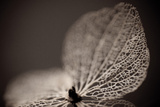 Hydrangea Skeleton III Photographic Print by Erin Berzel