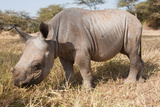 Nine-Month Old Black Rhino Charlie Stampa fotografica di Howard Ruby