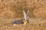 Jackal in a Field Photographic Print by Howard Ruby