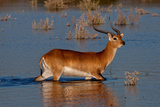 Red Lechwe Crossing Water Photographic Print by Howard Ruby
