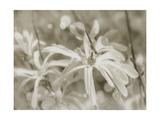Star Magnolias I Premium Giclee Print by Amy Melious