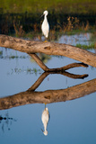 Snowy Egret Photographic Print by Howard Ruby