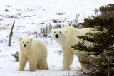 Polar Bear and Cub in Brush Photographic Print by Howard Ruby