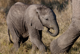 Baby Elephant Photographic Print by Howard Ruby