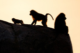 Baboon Family Photographic Print by Howard Ruby