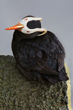 Sideways Puffin Photographic Print by Howard Ruby
