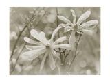 Star Magnolias II Premium Giclee Print by Amy Melious