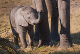 Baby Elephant II Photographic Print by Howard Ruby