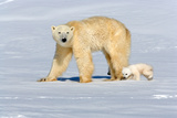 Polar Bear Mother Walking with Her Cubs Photographic Print by Howard Ruby