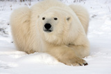 Gazing Polar Bear Stampa fotografica di Howard Ruby