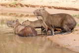 Muskrat Family Photographic Print by Howard Ruby