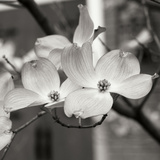 Dogwood Blossoms II BW Sq Photographic Print by Erin Berzel