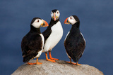 Three Puffins on Rock Photographic Print by Howard Ruby