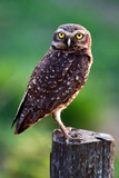 Burrowing Owl Photographic Print by Howard Ruby