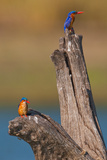 Azure Kingfisher Pair Stampa fotografica di Howard Ruby
