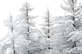 Snow-Laden Trees Photographic Print by Howard Ruby