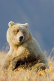 Brown Bear Photographic Print by Howard Ruby