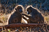 Baboon Love Photographic Print by Howard Ruby