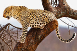 Leopard in a Tree Photographic Print by Howard Ruby