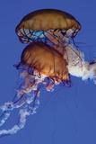 Jellyfish III Photographic Print by Erin Berzel