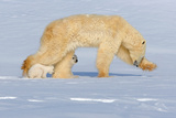 Polar Bear Mother in Stride Photographic Print by Howard Ruby