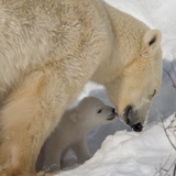 Polar Bear Cub Licking Mama Photographic Print by Howard Ruby