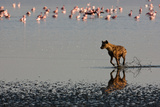Hyena Chasing Flamingos Photographic Print by Howard Ruby