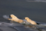 Swimming Polar Bear Stampa fotografica di Howard Ruby