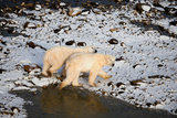 Polar Bears from Above Stampa fotografica di Howard Ruby
