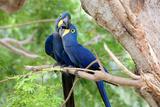 Hyacinth Macaw Love Stampa fotografica di Howard Ruby