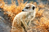 Meerkat Look Photographic Print by Howard Ruby
